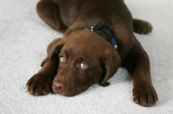 Removing Pet Odor from Carpet